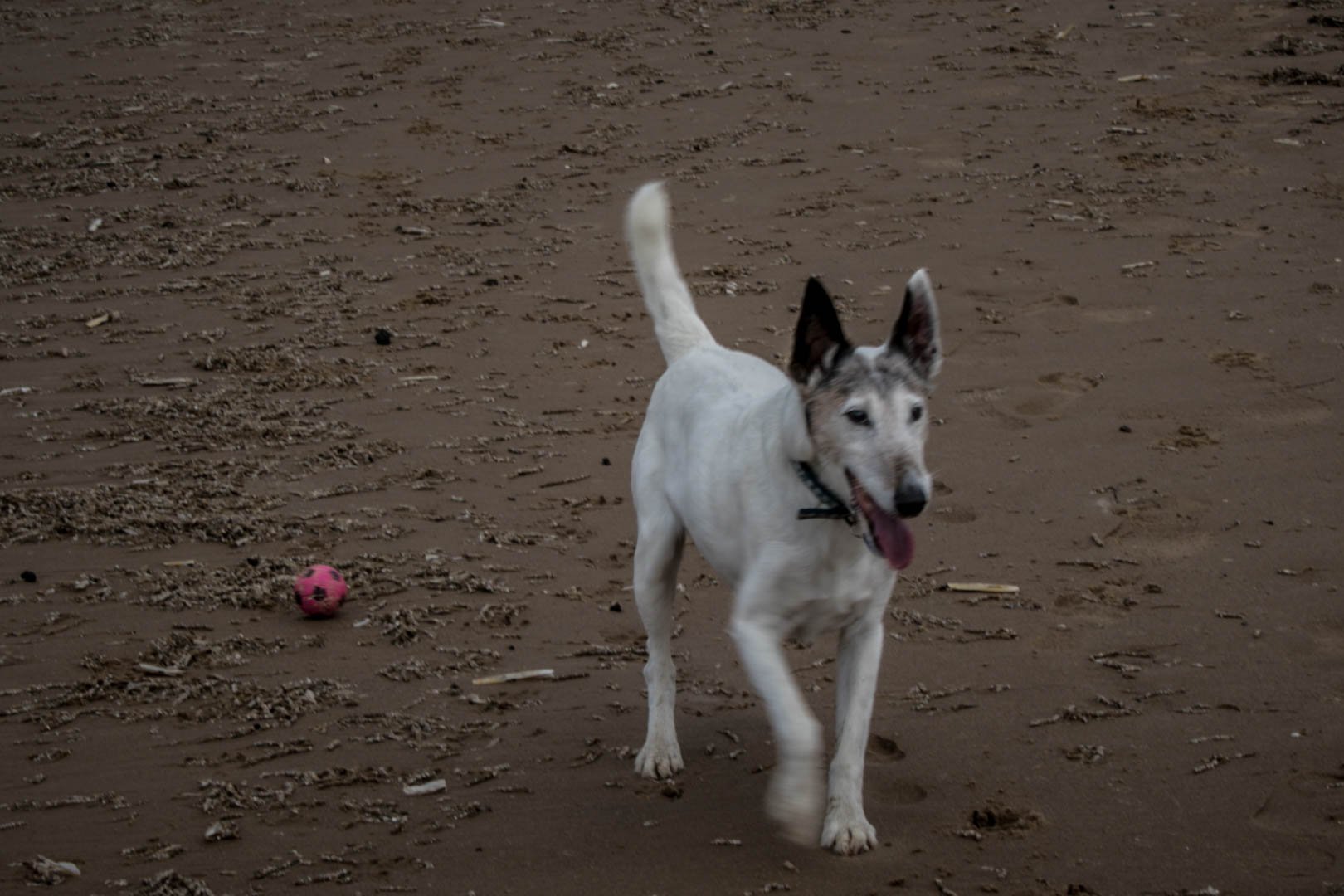Eddie the smooth coated fox terrier on a beach with a ball